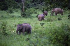 Dzicy słonie żyją w głębokim lesie przy parkiem narodowym Fotografia Royalty Free