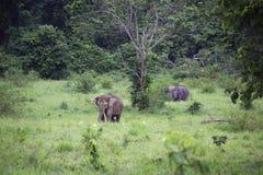 Dzicy słonie żyją w głębokim lesie, Tajlandia Fotografia Stock