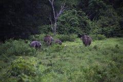 Dzicy słonie żyją w głębokim lesie, Tajlandia Obraz Stock