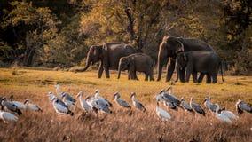 Dzicy słonie rodzinni zdjęcia stock