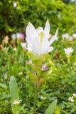 Dzicy Siam tulipany obrazy stock