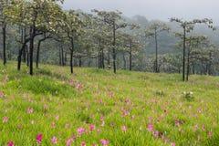 Dzicy Siam tulipany kwitnie pole Fotografia Stock