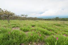Dzicy Siam tulipany kwitnie pole Zdjęcia Stock