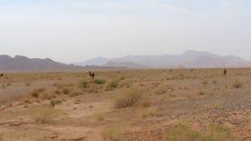 Dzicy wielbłądy w pustyni zbiory wideo