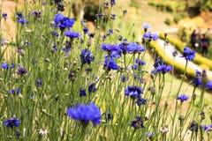 Dzicy wildflowers cornflowers na zielonym tle zdjęcia stock