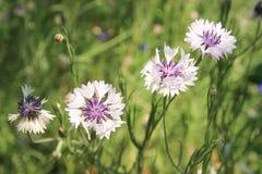 Dzicy wildflowers cornflowers na zielonym tle obrazy stock