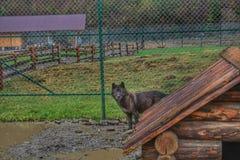 Dzicy wilki w zoo w klatce obrazy royalty free