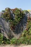 Dzicy winogrona Obrazy Stock