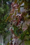 Dzicy winogrona, makro- fotografia Obraz Royalty Free