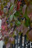 Dzicy winogrona, Makro- fotografia, Głownie chmurna, ogrodzenie Fotografia Stock