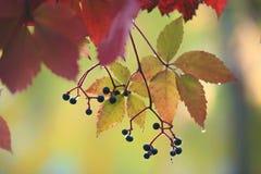 Dzicy winogrona w jesieni w podeszczowych dzikich winogron dżdżystej jesieni Obrazy Royalty Free