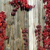 Dzicy winogrona z czerwonymi liśćmi na drewnianym ogrodzeniu Fotografia Royalty Free