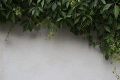 Dzicy winogrono liście na białym ogrodzeniu zdjęcie royalty free