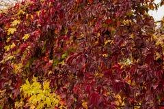 Dzicy winogrono liście Fotografia Stock