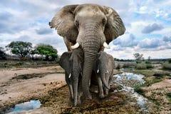 Dzicy wizerunki Afrykańscy słonie w Afryka Obrazy Royalty Free