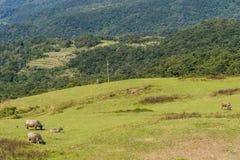 Dzicy wodni bizony pasa na terenie górzystym zdjęcia royalty free