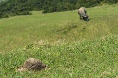 Dzicy wodni bizony pasa na terenie g?rzystym fotografia stock