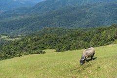 Dzicy wodni bizony pasa na terenie g?rzystym zdjęcia royalty free