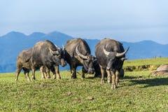 Dzicy wodni bizony pasa na terenie g?rzystym fotografia royalty free