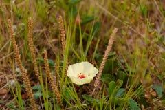 Dzicy ziele kwitnęli w wiośnie na piasku i kamieniu Zdjęcia Stock