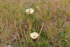 Dzicy ziele kwitnęli w wiośnie na piasku i kamieniu Zdjęcie Royalty Free
