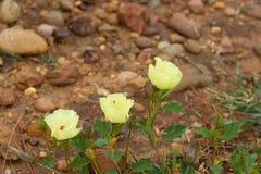 Dzicy ziele kwitnęli w wiośnie na piasku i kamieniu Zdjęcie Stock