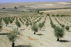 dzień śródpolny zielonej oliwki lato pogodny Obrazy Royalty Free