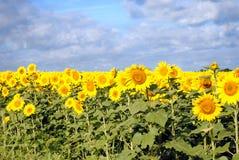 dzień chmurni słoneczniki Zdjęcia Stock