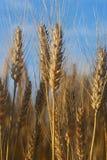 dzień dobry światła pszenicy Obraz Stock