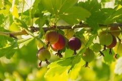 Dzień jagoda agresty na gałąź Zdjęcia Royalty Free