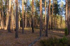 dzień lasu krajobraz pogodny Sosnowy las w Rosja fotografia stock
