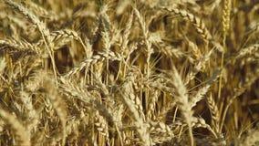 dzień lata gorąca pola pszenicy zdjęcie wideo