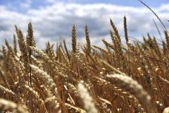 dzień lata gorąca pola pszenicy Zdjęcie Royalty Free