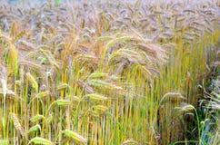 dzień lata gorąca pola pszenicy Zdjęcia Stock