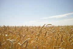 dzień lata gorąca pola pszenicy Fotografia Stock