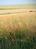 dzień lata gorąca pola pszenicy Zdjęcia Royalty Free