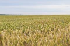 dzień lata gorąca pola pszenicy Obrazy Royalty Free
