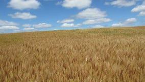 dzień lata gorąca pola pszenicy zbiory wideo