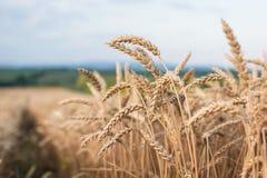 dzień lata gorąca pola pszenicy fotografia royalty free