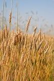 dzień lata gorąca pola pszenicy obrazy stock