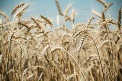 dzień lata gorąca pola pszenicy Zdjęcie Stock