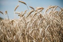 dzień lata gorąca pola pszenicy Obraz Royalty Free