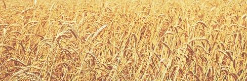 dzień lata gorąca pola pszenicy Naturalny tło zdjęcia stock
