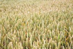 dzień lata gorąca pola pszenicy Ucho banatki zakończenie up Tło dojrzenie ucho Obraz Stock