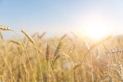 dzień lata gorąca pola pszenicy Ucho złoty banatki zakończenie up Fotografia Royalty Free