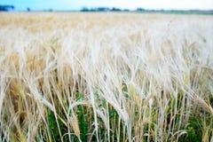 dzień lata gorąca pola pszenicy Ucho złoty banatki zakończenie up Zdjęcia Royalty Free