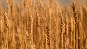 dzień lata gorąca pola pszenicy Ucho złoty banatki zakończenie up zbiory