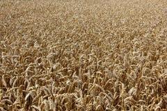 dzień lata gorąca pola pszenicy Ucho złoty banatki zakończenie up Zdjęcie Stock