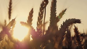 dzień lata gorąca pola pszenicy Ucho złoty banatki zakończenie up Piękny natura zmierzchu krajobraz Wiejska sceneria pod olśniewa zbiory wideo