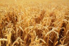 dzień lata gorąca pola pszenicy Ucho złoty banatki zakończenie up Piękny natura zmierzchu krajobraz Wiejska sceneria pod olśniewa Obrazy Stock